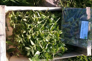 Herbs being bagged and tagged for Unicorn.