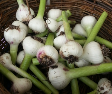 Wet garlic.