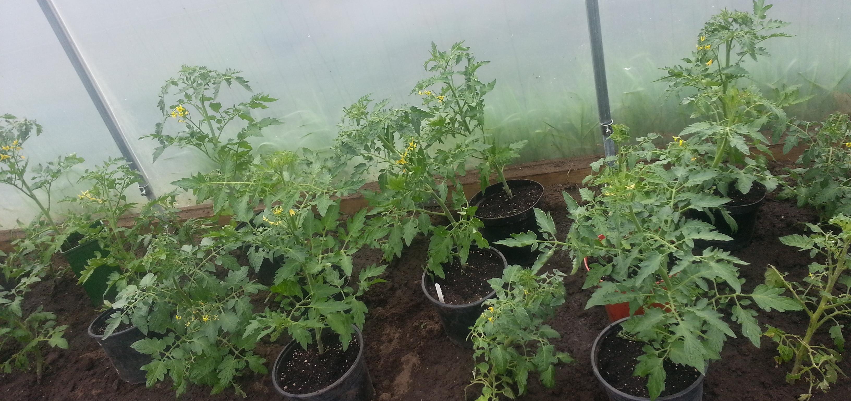 Tomato plants.