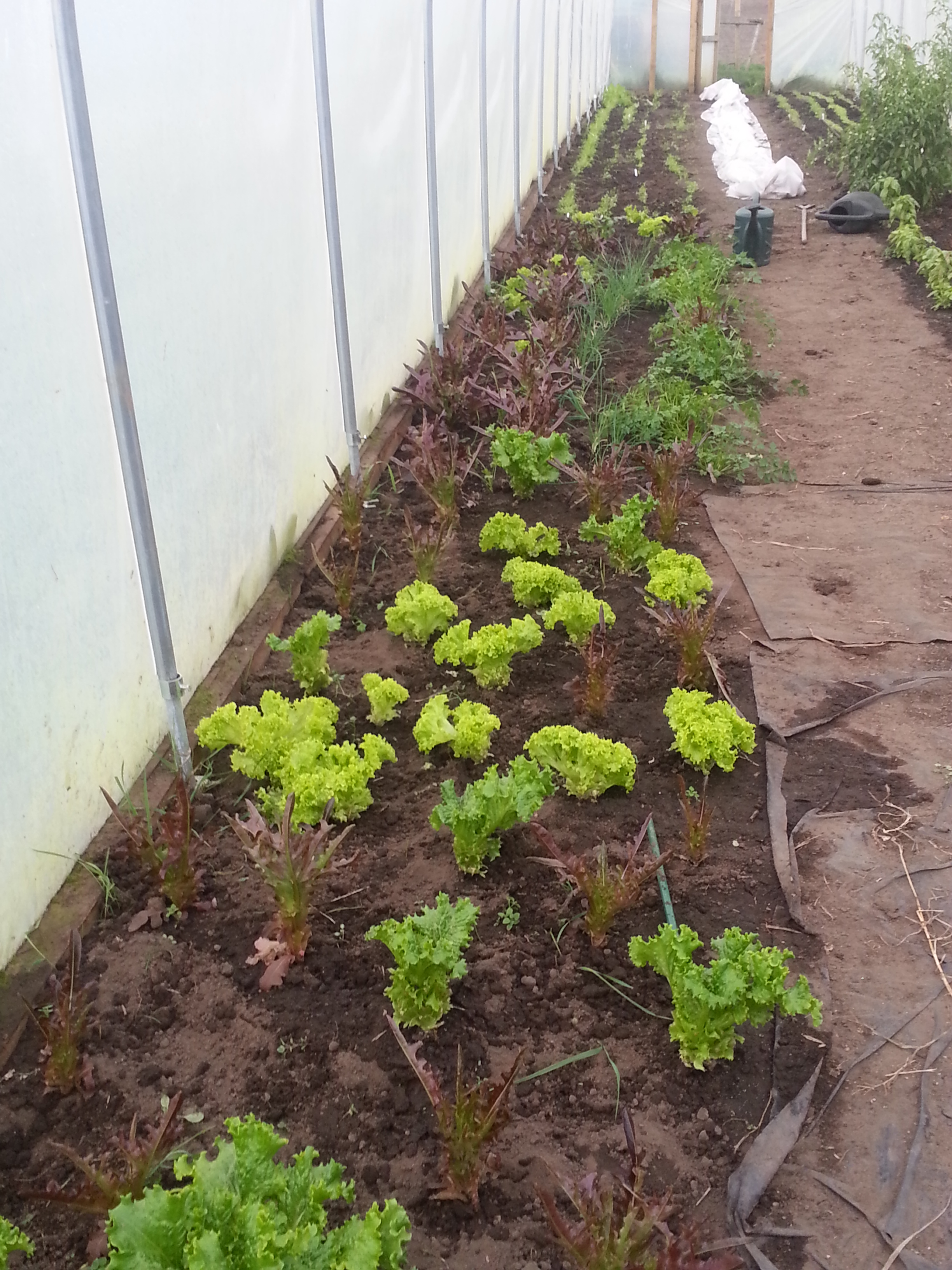 winter-lettuces