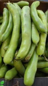 broad bean crop